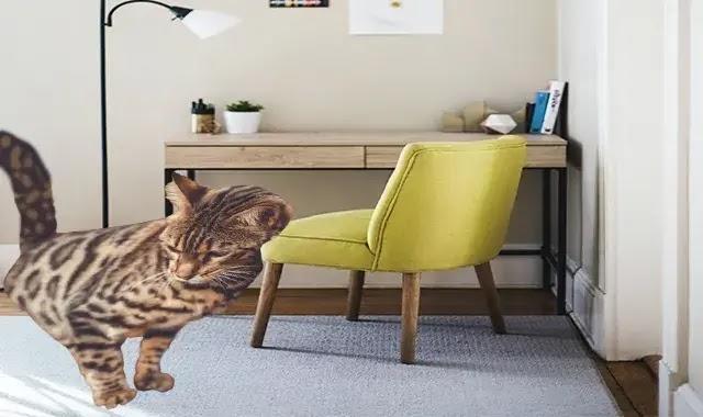 Un Chat Du Bengale Va-T-Il Détruire Ma Maison?