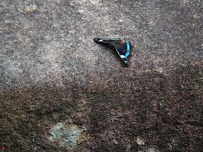 Ruri-tateha (Kaniska canace) butterfly: Engaku-ji