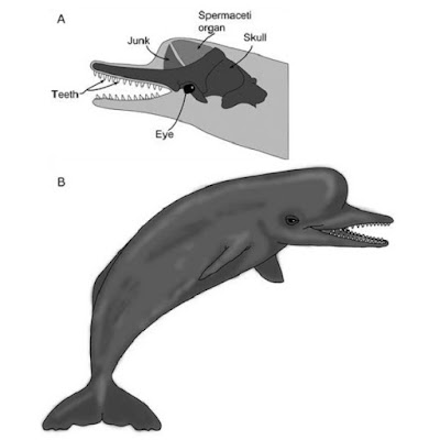 Species New to Science: [PaleoMammalogy • 2019] Diaphorocetus