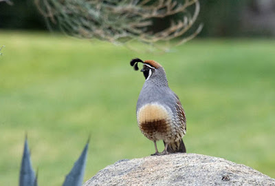 Photo of a Gambel's Quail on a rock
