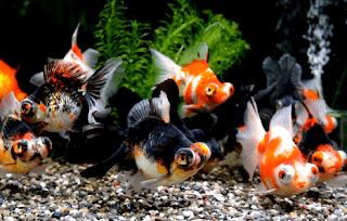 Cara pemijahan ikan mas koki