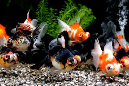 Cara Mengawinkan Ikan Mas Koki Secara Mudah