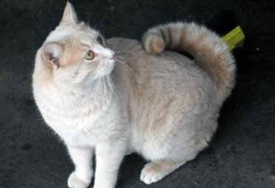 Sifat Kucing American Ringtail
