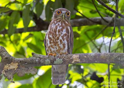 Burung Hantu Punggok Coklat (Ninox scutulata)