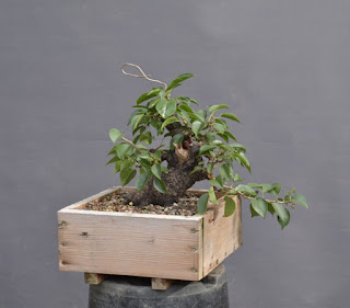 Shohin, Prunus mahaleb, yamadori