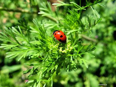 Η βιολογική καταπολέμηση των εχθρών με ωφέλημα έντομα