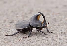 Cascarudo (Diloboderus abderus)