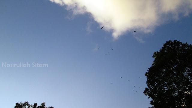 Sekelompok burung Srigunting terbang rendah