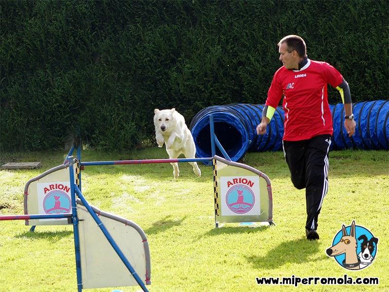 Can de Palleiro saltando en una prueba de Agility