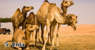 Unta merupakan salah satu jenis hewan ternak yang di qurban saat Idul Adha