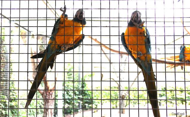Aras canindés, parc des oiseaux de Villars-les-Dombes