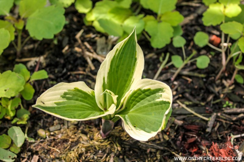 Small Hosta Plant | On The Creek Blog