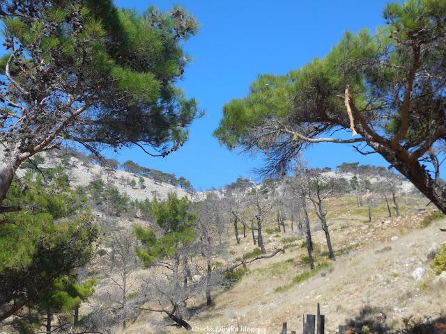 opalone pnie drzew na tle błękitnego nieba Chios Grecja