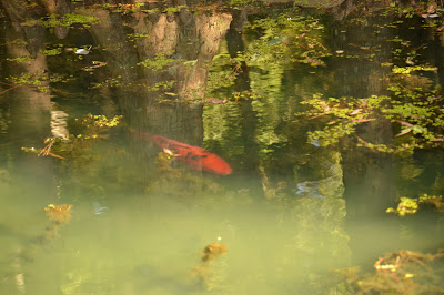 giant, overgrown goldfish. Koi pond at Maymont