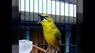 Pleci rumah kolibri