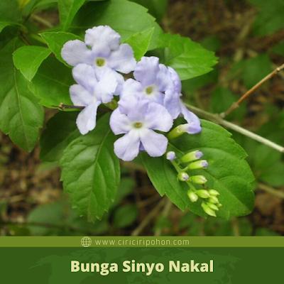 Bunga Sinyo Nakal