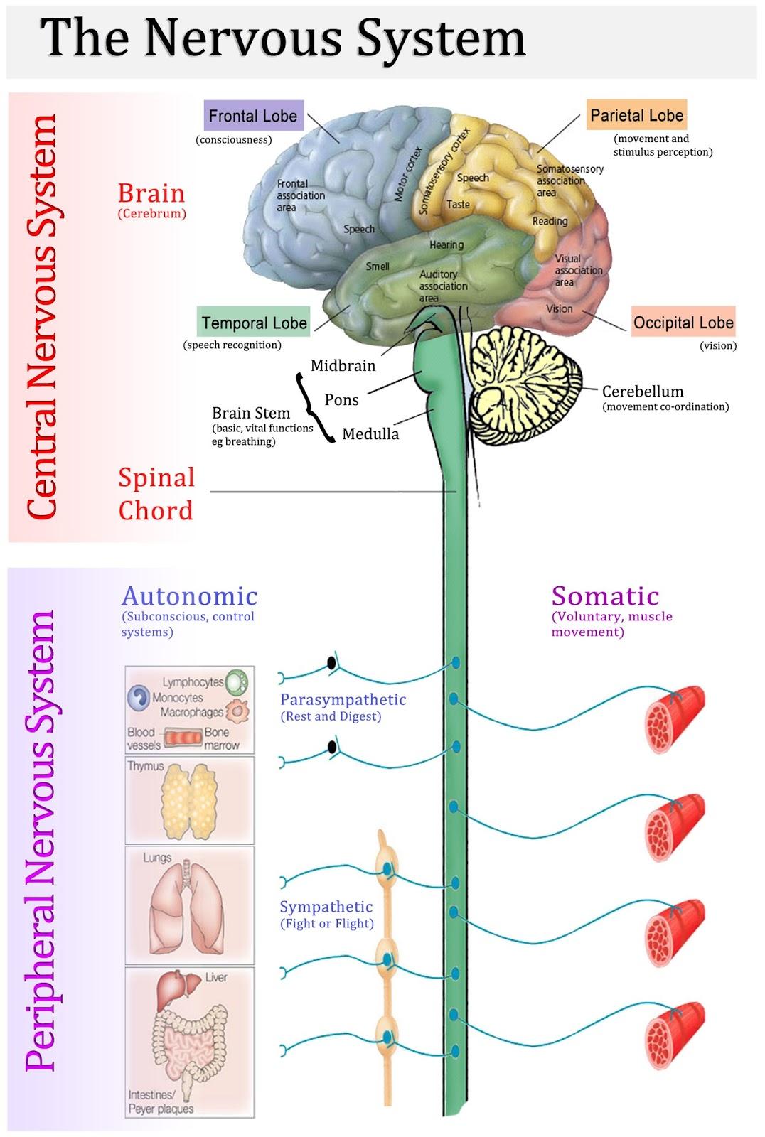 Remson786 Human Body System Basics