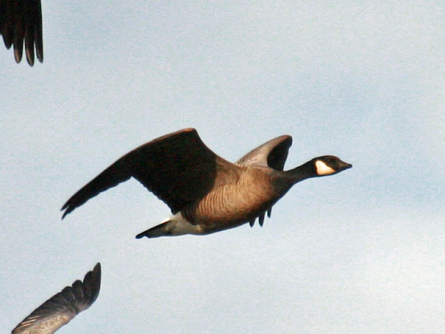 Figure 18: Cackling Goose flight pose 5. Finishing the upstroke. Primaries partially folded and pointed back slightly, reducing drag. When the upstroke is finished the bird again will be as in flight pose 1 (Figure 14).