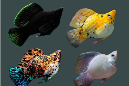 Kenali 13 Jenis Ikan Molly yang Paling Populer Serta Cara Mudah Budidaya Ikan Molly