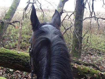 grzyby 2016, grzyby w listopadzie, grzyby zimowe, Płomiennica zimowa [Zimówka aksamitnotrzonowa] Flammulina velutipes, konie, jazda konna, jazda konna w lesie, pensjonat dla koni koło Krakowa