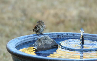 Photo of Pine Siskin at bird bath with fountain