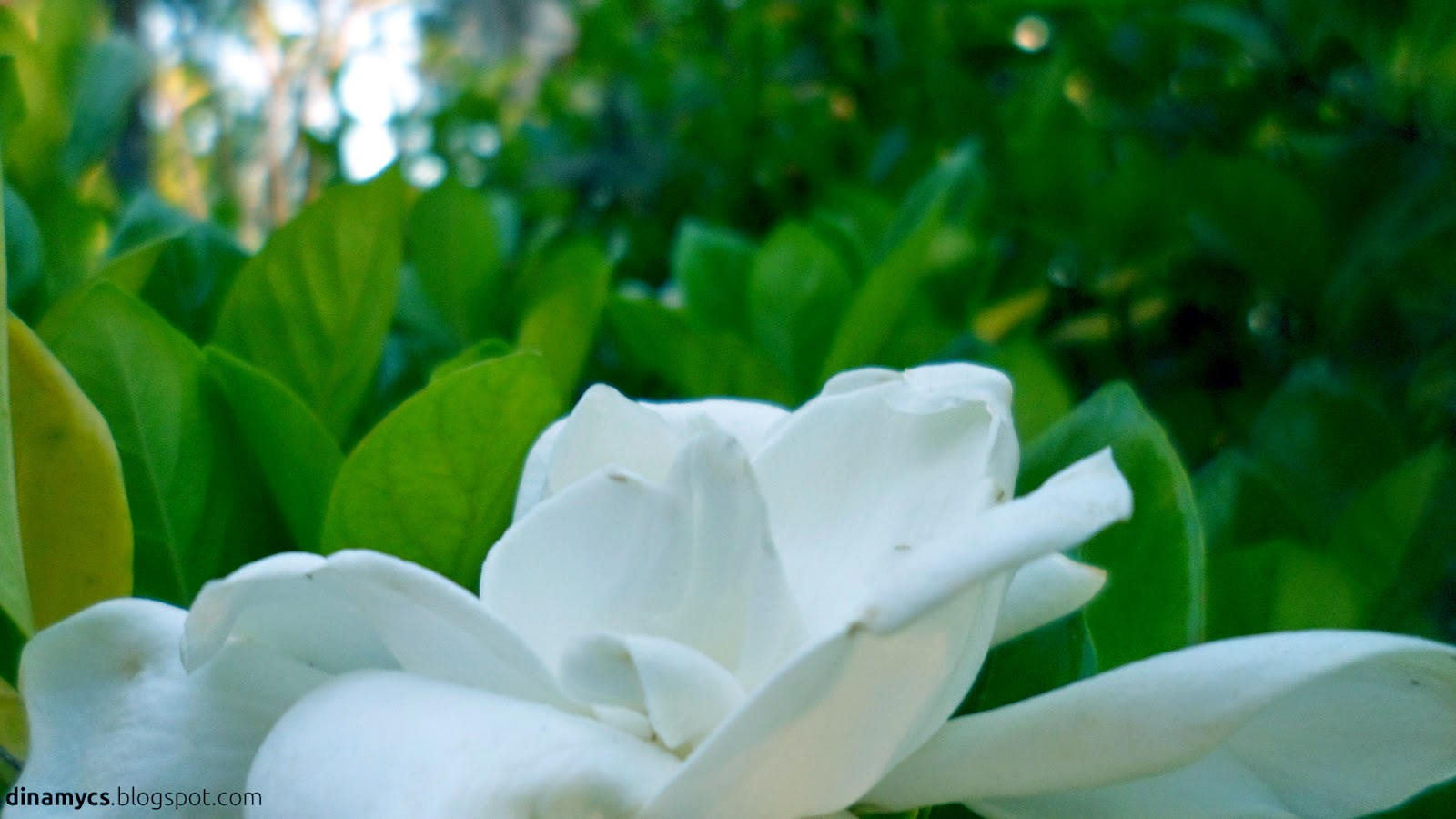 white flowers - flower wallpaper hd - flores blancas hd
