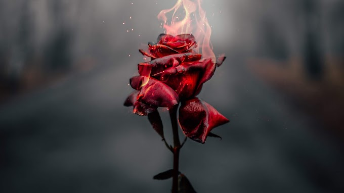 Burning Rose 4k Wallpaper