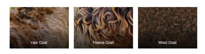 Labradoodle-coat-types