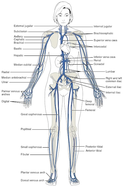 Veins throughout the whole body