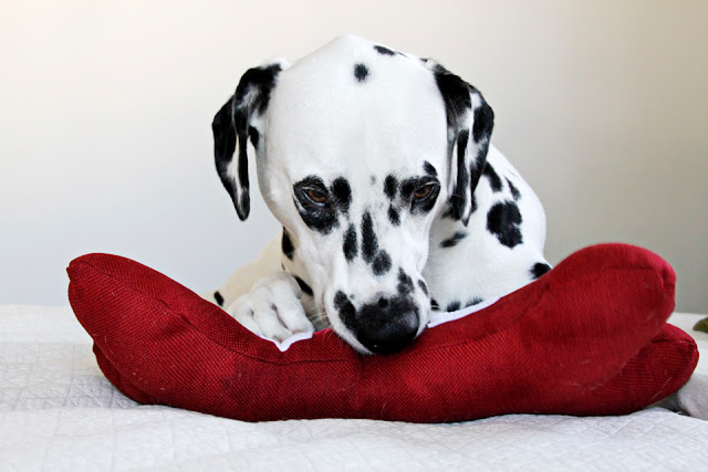Dalmatian dog playing with homemade dog toy shaped like a red bone with the word LOVE