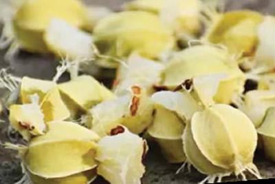 amla seeds
