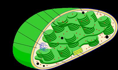 struktur kloroplas yang berfungsi untuk fotosintesis