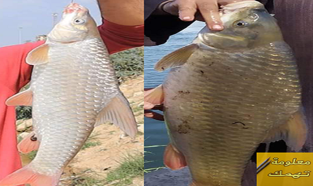 صيد سمك البني بالانشون