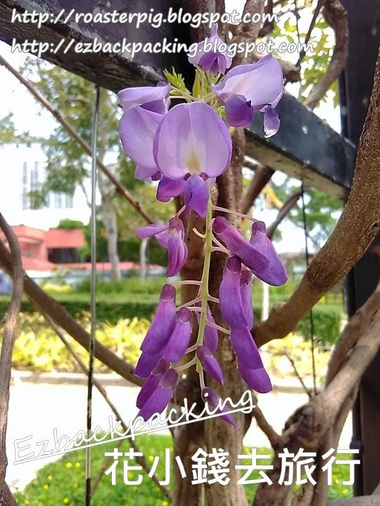 香港紫藤花2021