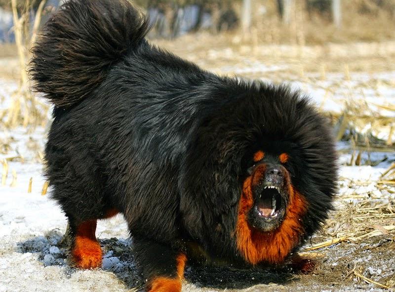 Tibetan mastiff angry-Dogue du Tibet - Mastiff tibétain - L