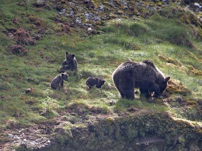 Osos pardos (Ursus arctos) en la Cordillera Cantábrica
