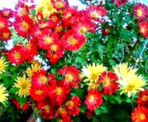 Pot Mum or Florist's Mum, Chrysanthemum morifolium
