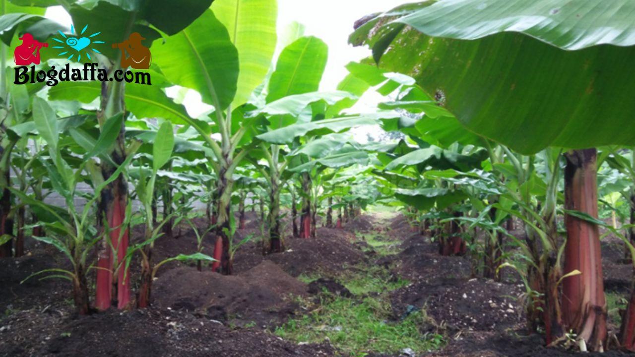Memahami media tanam pohon pisang