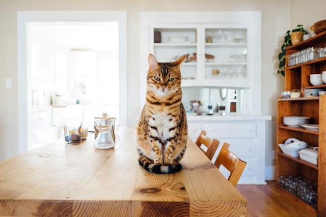 Makanan Kucing Hamil