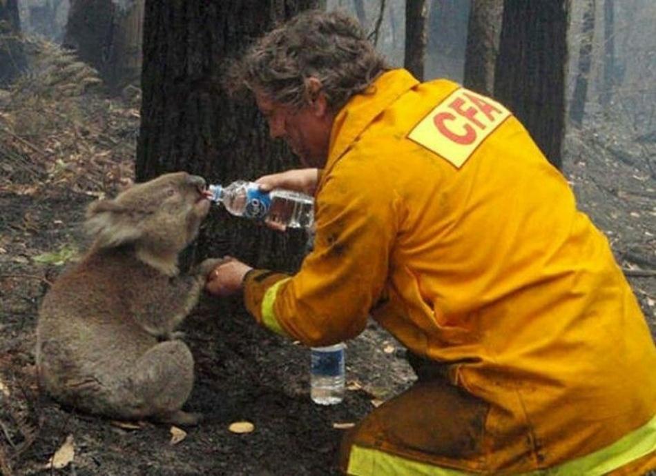 koala, Australian bush fire