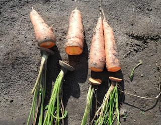 Обрезаю морковь перед хранением