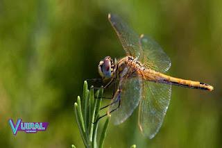 Contoh Hewan Insecta Capung