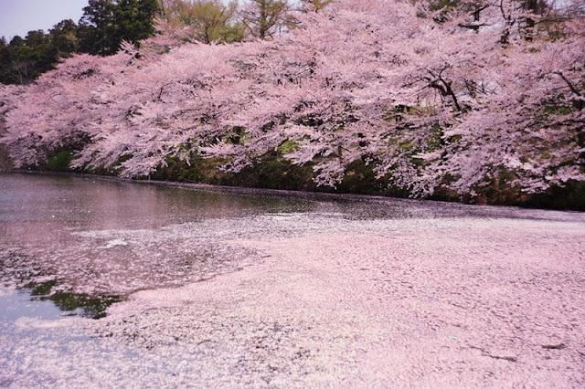 Chùm ảnh đẹp Hoa Anh Đào Nhật Bản vào tháng 02/2020 20