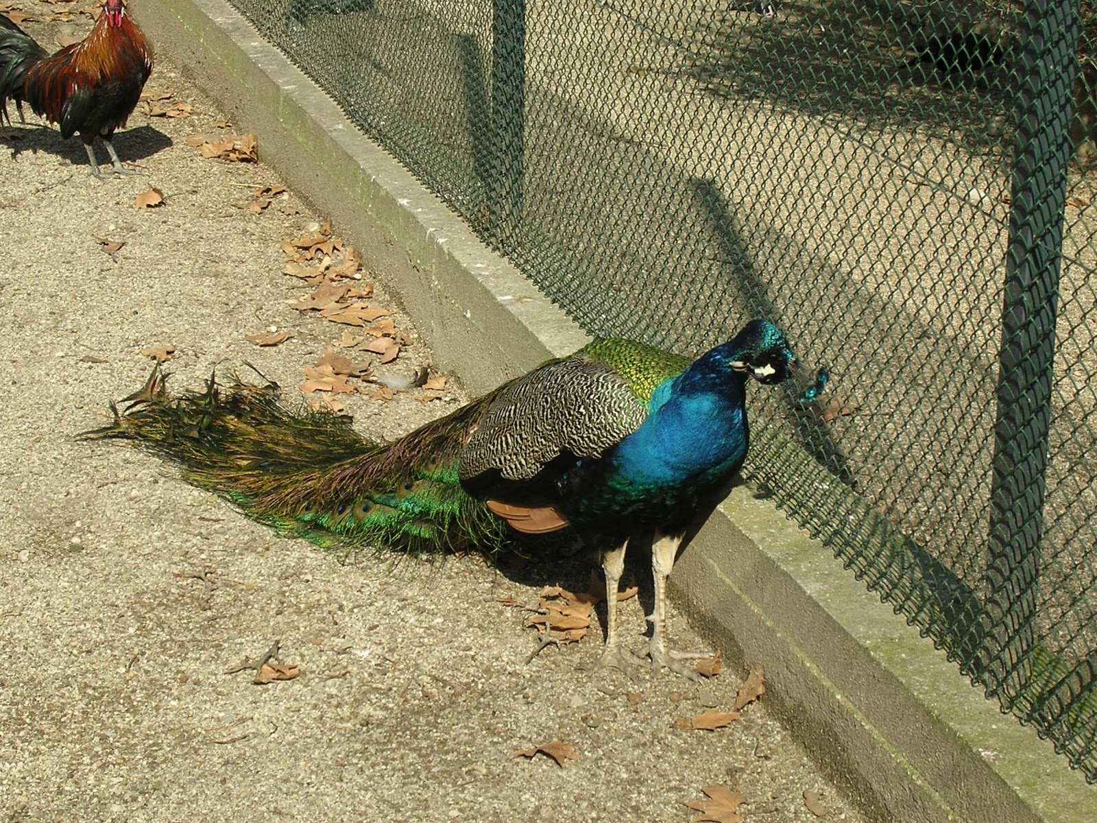 Le Paon Qui Fait La Roue au royaume des animaux: le paon bleu