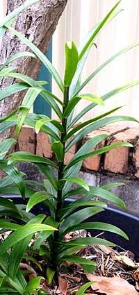 Oriental Lily Leaf Shape
