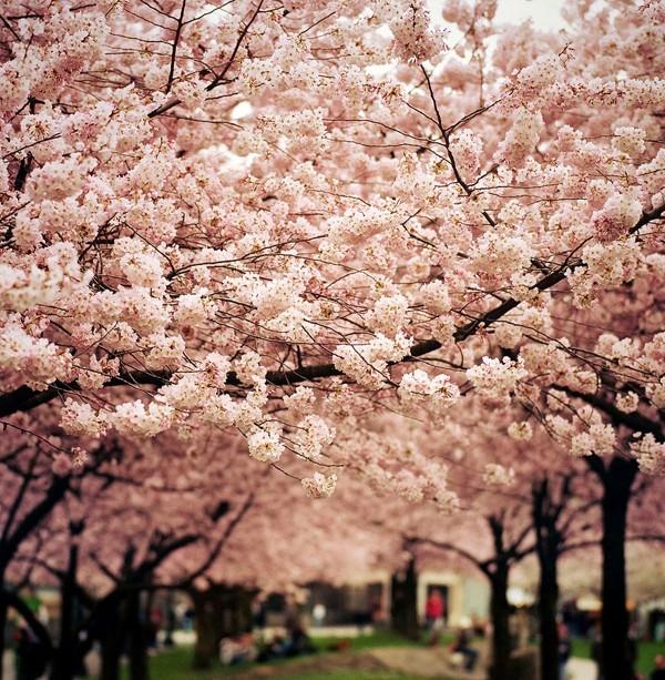 Chùm ảnh đẹp Hoa Anh Đào Nhật Bản vào tháng 02/2020 18