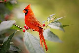 कार्डिनल पक्षी। About Cardinal bird in hindi