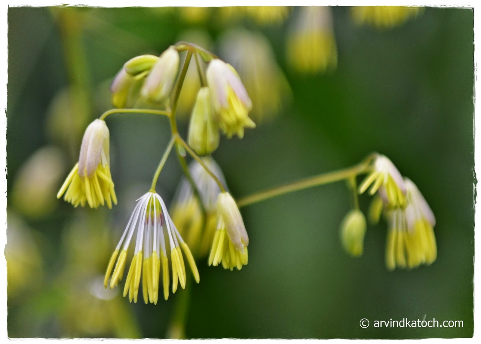 Micro, Wild, Flowers, Himalayan,