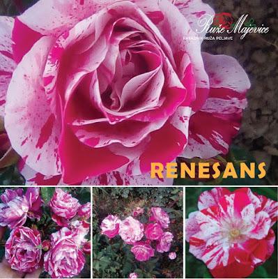 RENESANS - Renaissance Ruža dvobojna roze. Floribunda