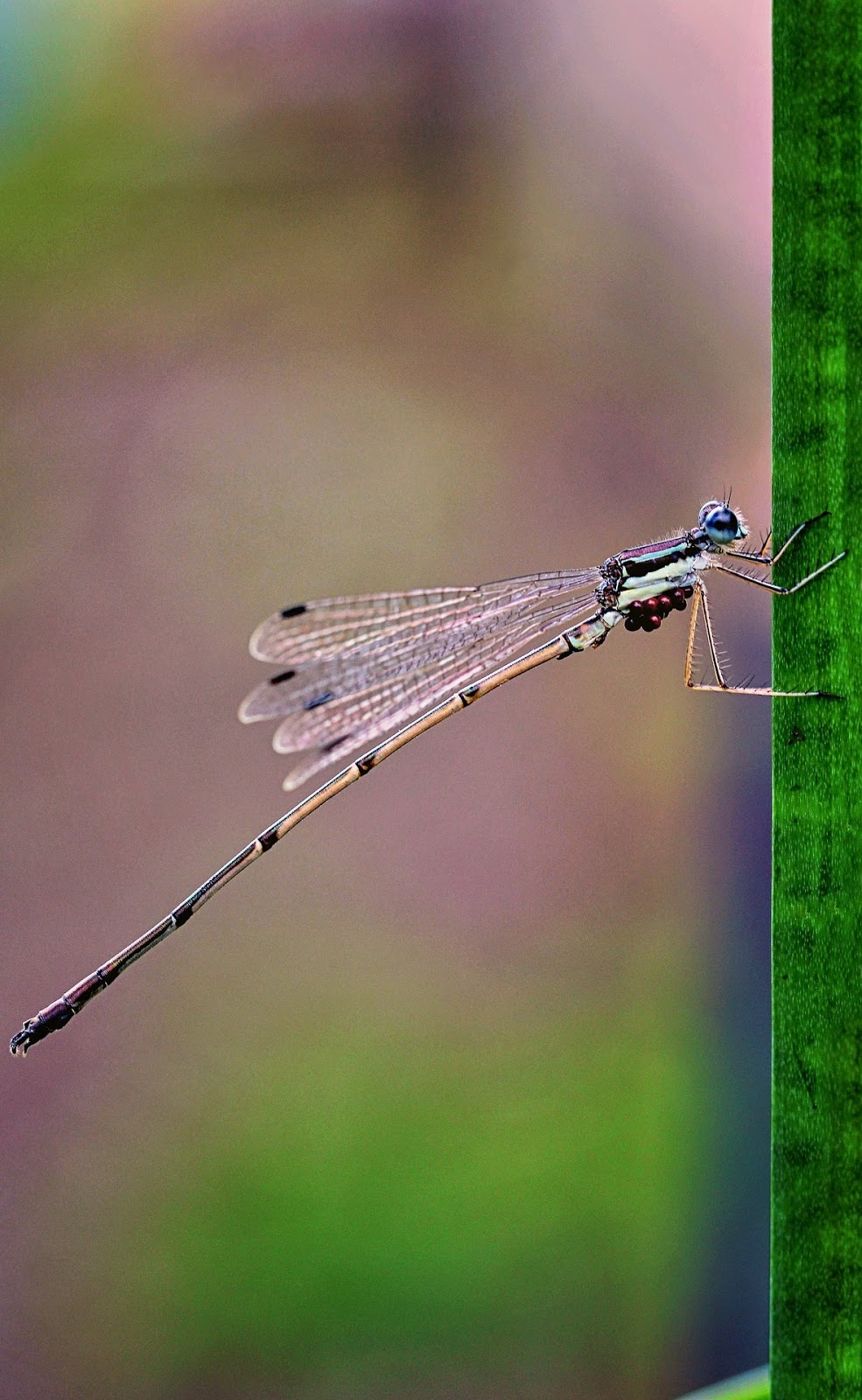 Picture of damselfly amazing acrobatic climb.